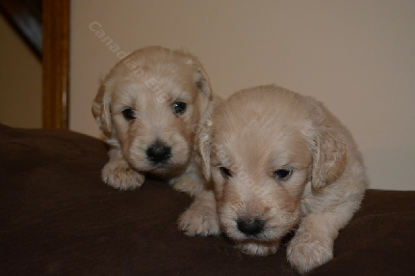 3 Week Old F1 Goldendoodle Puppies For Sale