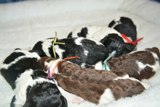 newborn poodle puppies for sale