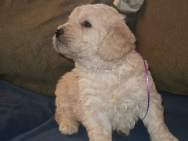 4 week old Goldendoodle Puppy