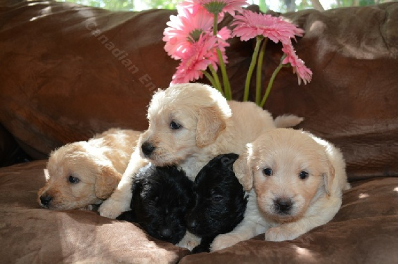 4 Week Old F1 Goldendoodle Puppies For Sale